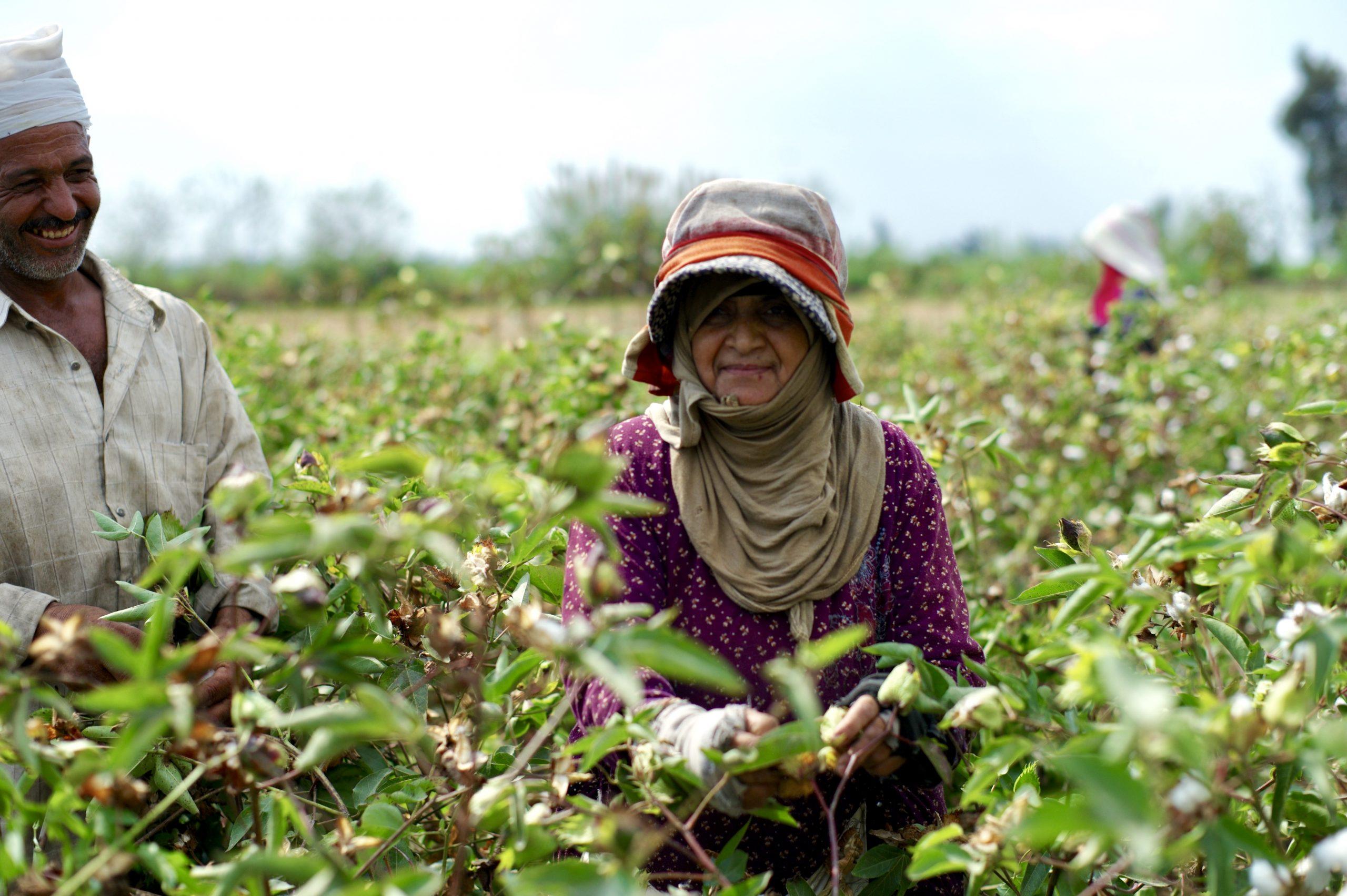 Start of cotton harvest